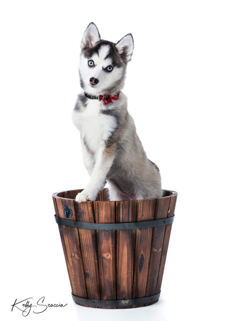 Brown and white puppy with bright blue eyes sitting up in brown bucket looking at you on a bright white background