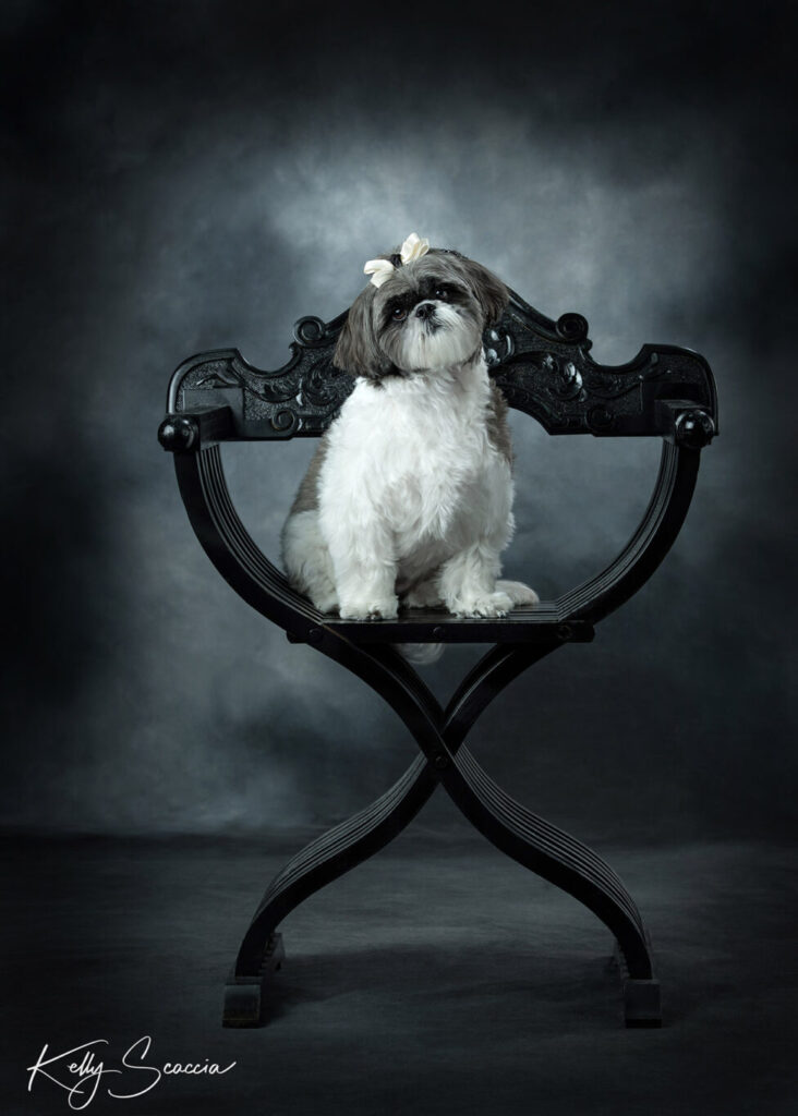 Black and white dog with bow on head sitting on a black chair looking at you with head tilted